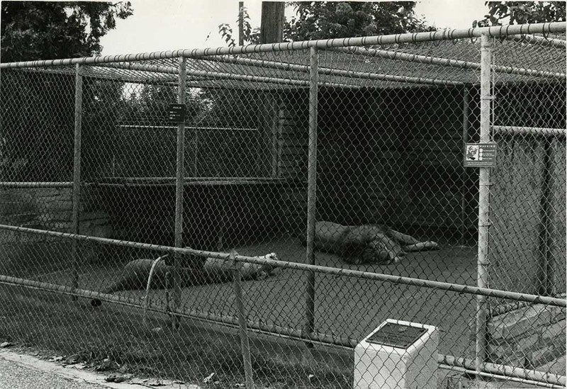 Lounging Lions (c. 1970)